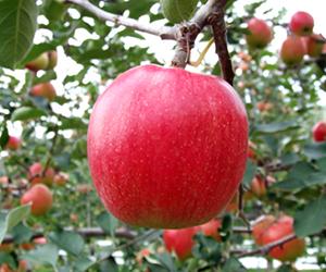 りんご, 彩香